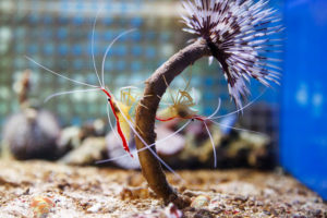 two shrimps inside the tank