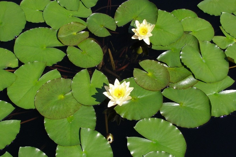 water lilies on pond