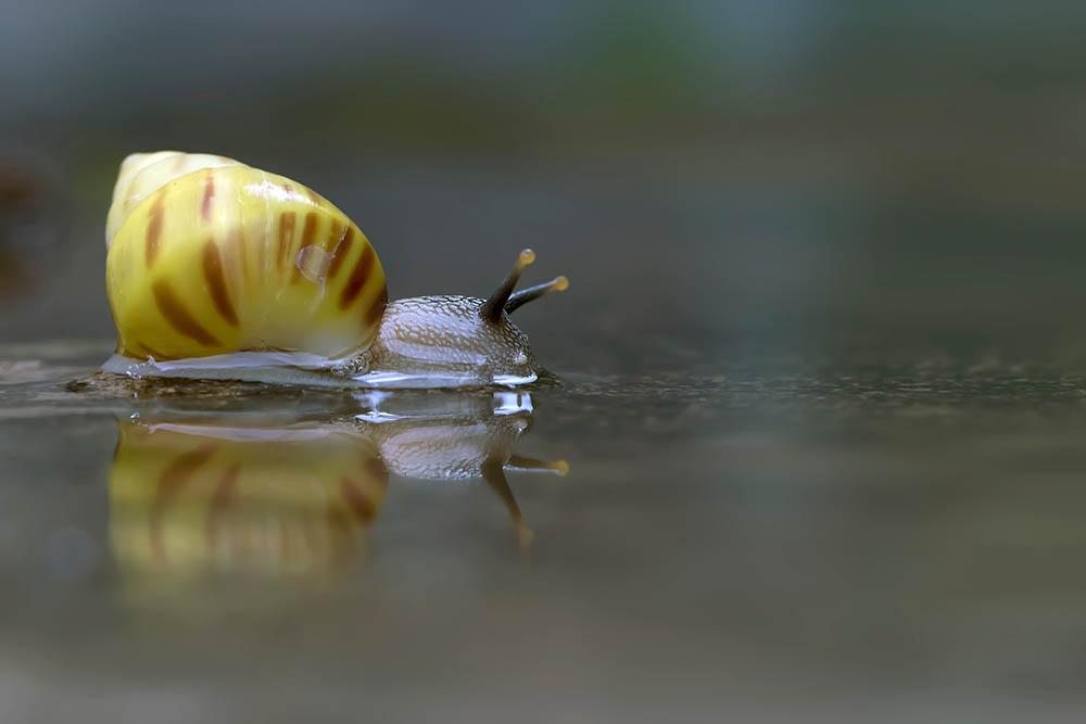 yellow Pond Snail